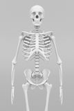 Skeleton model Royalty Free Stock Image
