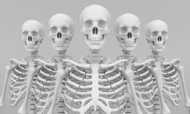 Skeleton model Stock Image