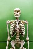 Skeleton model isolated. Royalty Free Stock Images