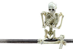 Skeleton model on white background.  Royalty Free Stock Image