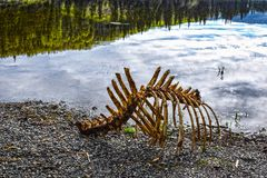 Skeleton of moose on the shore of a lake. Royalty Free Stock Photos