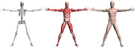 Skeleton and Muscles of a Human Male Royalty Free Stock Image