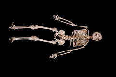 Skeleton. A picture of an anatomically correct skeleton stock images