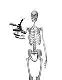 Skeleton Pointing Royalty Free Stock Photos