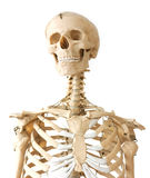 Skeleton portrait Stock Photos