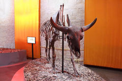 Skeleton of prehistoric animal. PERM, RUSSIA - APR 4, 2015: Skeleton of prehistoric animal cattle in Museum of Local History Royalty Free Stock Photo