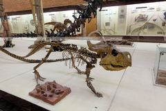 Skeleton of the protoceratops quadpie dinosaur. Paleontological Museum Moscow 2018 December 01 stock image