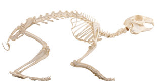 Skeleton of the quadruped. Skeleton of the domestic quadruped section with bones royalty free stock photos