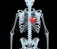 Skeleton Röntgenstrahl, der rotes Herz anzeigt Lizenzfreie Stockfotografie