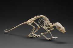 Skeleton of rat. Handbook of zoology of rodents. Handbook on zoology. Skeleton of rat on black background Royalty Free Stock Images