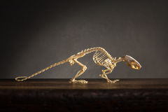 Skeleton of rat Stock Images