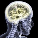 Skeleton X-Ray - Brain ON Stock Photography