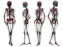 Skeleton by X-rays on background. 3d illustration of   skeleton by X-rays on background Royalty Free Stock Photography