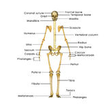 Skeleton without rib cage. He human skeleton is the internal framework of the body. It is composed of 270 bones at birth – this total decreases to 206 bones by Royalty Free Stock Images