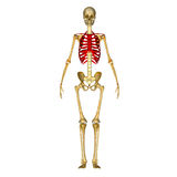 Skeleton ribcage Stock Images