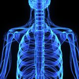 Skeleton ribcage Stock Photos