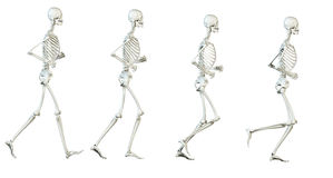 the skeleton Stock Photo