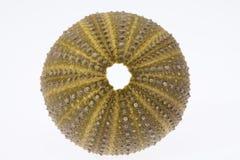 Skeleton of sea shell green  echinoidea isolated on white background Royalty Free Stock Photos