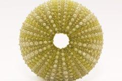 Skeleton of sea shell green  echinoidea isolated on white background- macro Royalty Free Stock Photo