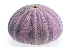 Skeleton of sea shell violet  echinoidea isolated on white background Royalty Free Stock Images
