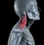 Skeleton showing neck bones Stock Photos