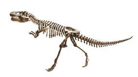 Skeleton of Siamotyrannus isanensis  Family of Tyrannosauridae  on isolated background Royalty Free Stock Photos
