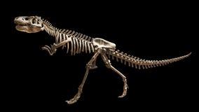 Skeleton of Siamotyrannus isanensis  Family of Tyrannosauridae  on isolated background Stock Photography