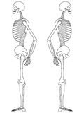 Skeleton: Side View Royalty Free Stock Photo