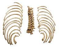 Skeleton skull bones. Close up of a skeleton on white background with clipping path Royalty Free Stock Photography