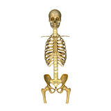 Skeleton:Skull,Ribs,Backbone and Hip bone. The skeletal system includes all of the bones and joints in the body. Each bone is a complex living organ that is made Royalty Free Stock Photo