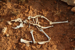 Skeleton. The skeleton of a small animal stock image