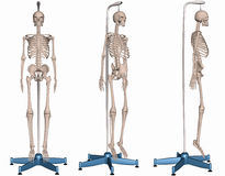 Skeleton on Stand Stock Photos