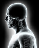 Skeleton System - X-ray upper part human. Royalty Free Stock Photography