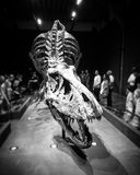 Skeleton of T-Rex. Skeleton of Trix, the Tyrannosaurus Rex at Naturalis Museum in Leiden, the Netherlands Royalty Free Stock Image