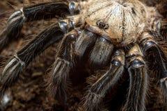 Skeleton tarantula Royalty Free Stock Photos