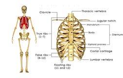 Skeleton of thorax Stock Photo