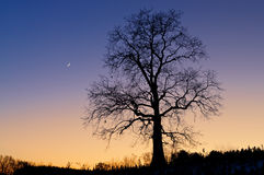 Skeleton Tree and Crescent Moon Stock Photography
