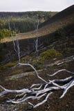 Skeleton Trees, Lava Field, Hawaii Stock Images