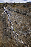 Skeleton Trees, Lava Field, Hawaii. The remains of dead trees populate a high lava field in Volcanoes National Park on the Big Island of Hawaii Royalty Free Stock Photos