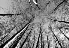 Skeleton trees Royalty Free Stock Photo