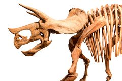 Skeleton of Triceratops . isolate background royalty free stock image