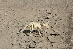 Dinosaur skeleton of Triceratops on parched ground. This is skeleton of Triceratops - toy Stock Images