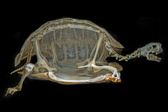 Skeleton on a turtle Royalty Free Stock Photography