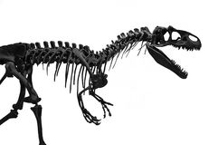 The skeleton of tyrannosaurus Rex. Silhouette of the skeleton of a predatory Tyrannosaurus Rex t-Rex on a white background. the Museum of paleontology natural stock photography