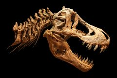 Skeleton of Tyrannosaurus rex  T-rex  on isolated background .  Skull and Neck Royalty Free Stock Photos