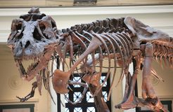 Skeleton of a tyrannosaurus rex trex full fossil reconstructed. In museum Stock Photos