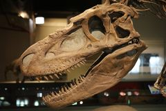 Skeleton of a tyrannosaurus rex trex full fossil reconstructed. In museum Royalty Free Stock Image