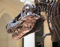 Skeleton of a tyrannosaurus rex trex full fossil reconstructed. In museum Stock Photography