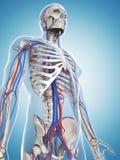 Skeleton and vascular system. 3d rendered illustration of the male skeleton and vascular system Stock Image
