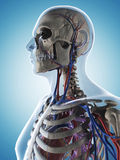 Skeleton and vascular system Royalty Free Stock Photo